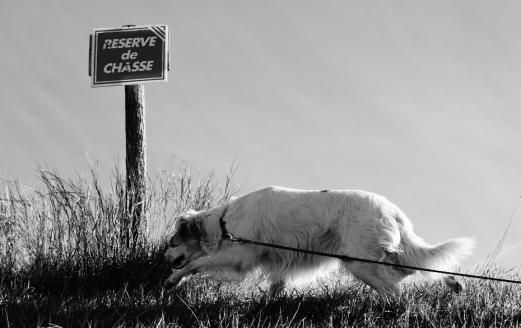 chien-de-chasse